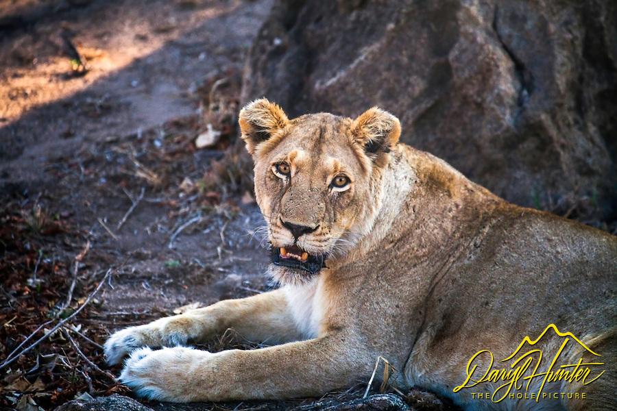 Lioness portrait, Kruger National Park.