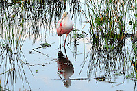 Roseate Spoonbill in wetlands eyeing a small alligator. Photographed at Wakodahatchee Wetlands, Delray Beach, Florida.