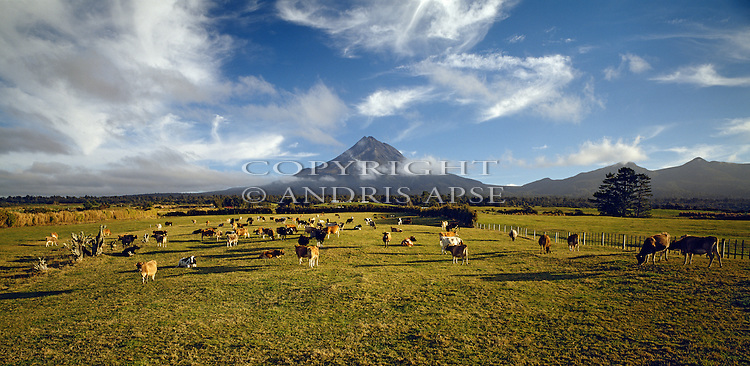 Dairy Cows at sunrise near Mount Taranaki (Egmont). Taranaki Region. New Zealand.