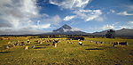 Dairy Cows at sunrise near Mount Taranaki (Egmont). Taranaki Region. New Zealand.