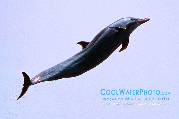 pantropical spotted dolphin, .Stenella attenuata, leaping, .Big Island, Hawaii (Pacific).