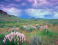 V00460M.tif   Lupines and storm clouds. Hillside of Leslie Gultch, Oregon