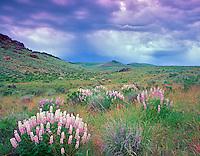 V00460M.tif   Lupines and storm clouds. Hillside of Leslie Gultch, Oregon