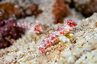 Starry Dragonets, Synchiropus stellatus, pair of juveniles on sand, Depan Kampung dive site, Manado, Sulawesi, Indonesia, Pacific Ocean