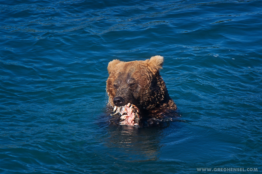 Large male Brown Bear scarred from previous fights with other Bears feeds on Salmon at the base of McNeil Falls. Summer at McNeil River Bear Sanctuary in Southwest Alaska.