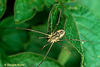 SI09-009a  Daddy Longleg Spider on potato leaves - Harvestman