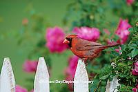 01530-16720 Northern Cardinal (Cardinalis cardinalis) male on picket fence near rose bush, Marion Co. IL