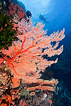 Coral reef, Ambon, Indonesia