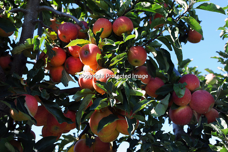 Apple Tree Full Of Apples At The Orchard New Hampshire USA
