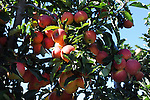 Apple Tree full of Apples at the Orchard, New Hampshire USA
