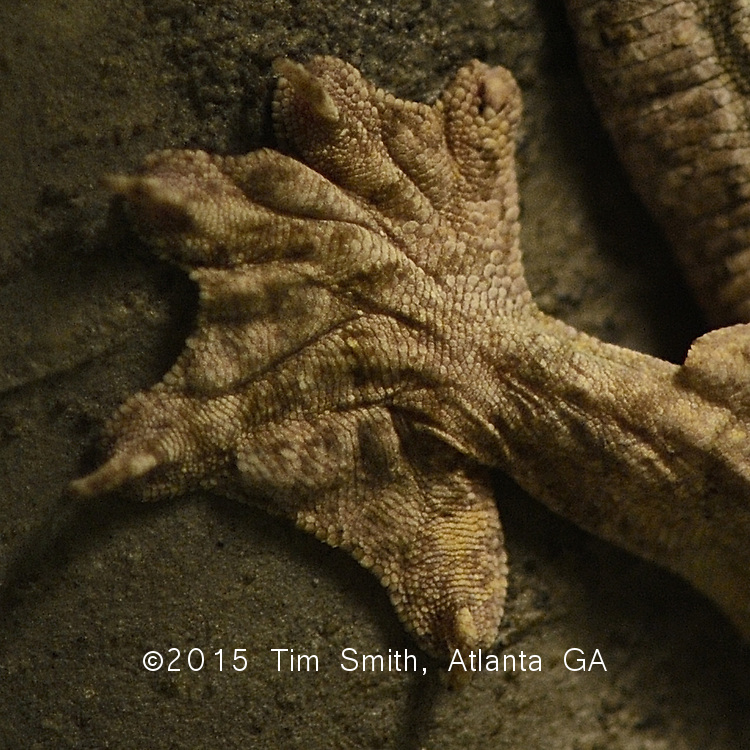 July 25, 2010 Atlanta, Ga, USA....Geckos from around the world.  The Kuhl's Flying Gecko (Ptychozoon kuhli)  also and more accurately called a gliding gecko,appear to grow to about 6 inches.  They are arboreal, and have skin adaptations such as webbed feet, extra flattened skin flaps and a vertically flat tail that can act as a rudder in short glides for movement or to escape predators.  Native to the area of South central Asia: Thailand, Northeastern India, south to Malaysia, Indonesia and Bornea.  Nocturnal hunters they eat insects, occasionally lizards and other small vertebrates and invertebrates.  Their coloration varies widely, but mostly ranges across bark-like colors and patterns, and it may change tone with their mood.