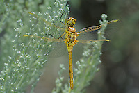 362740014 a wild female saffron-winged meadowhawk sympetrum costiferum perches on a plant at decheambeau ponds in mono county california
