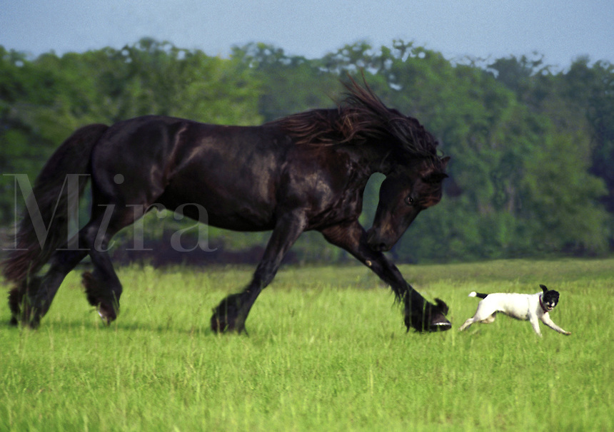 A huge Friesian stallion runs in play behind tiny Jack Russell terrier. horse, horses, equine, dog, dogs, animals. #853 Friesian Jack.
