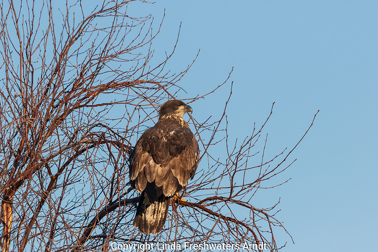 Immature bald eagle in Crex Meadows (northwestern Wisconsin).