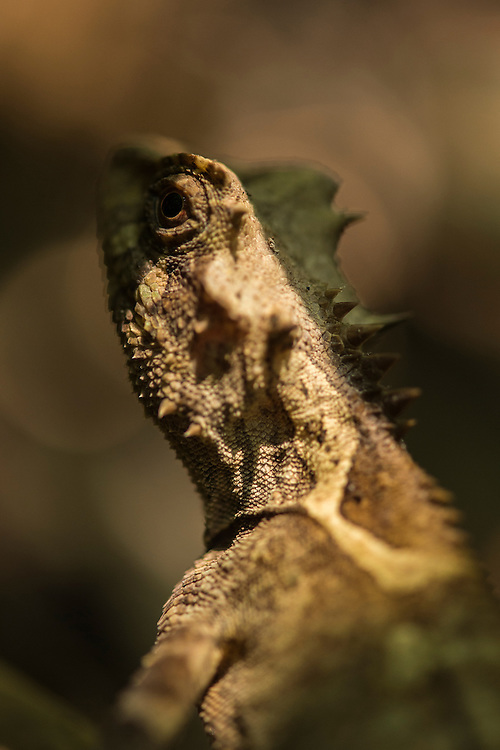 Lizard species in the primary rainforest area of the Xishuangbanna Tropical Botanic Gardens.