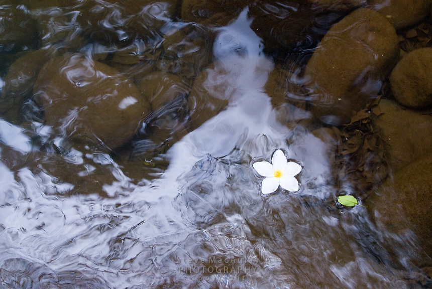 Flower petal floating in stream, Boquete, Panama,Chiriqui Province