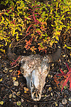 Bison skull on forest floor