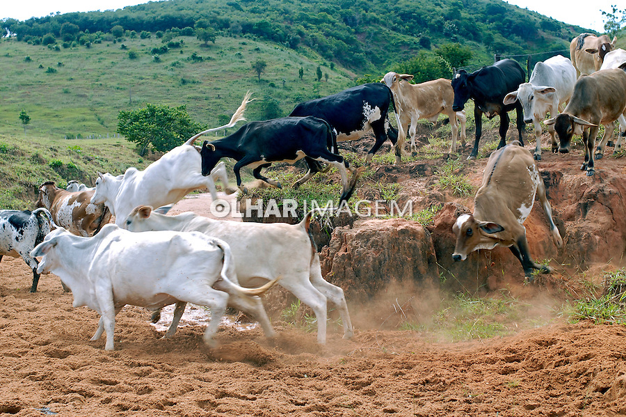 Gado na fazenda. Aimorés. Minas Gerais. 2008. Foto de Ricardo Azoury.