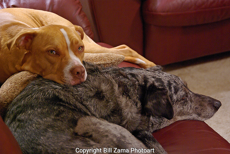 Maddox our Red Nosed Pit bull and Winter our Leopard Catahouls