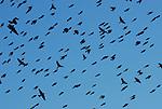 birds over Sacramento Delta