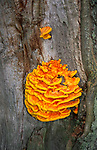 AWY787 Chicken of the woods fungus laetiporus sulphureus
