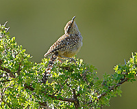 Adult cactus wren. The birds were nesting in this bush and noisily scolded me.