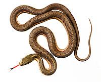 Eastern Garter Snake.Thamnophis Sirtalis Sirtalis