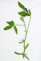 Soybean Legume Plant Parts, showing leaves, stem, bean, flowers, against white background