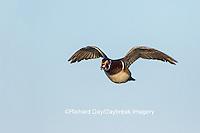 00715-08914 00715-089.10 Wood Duck (Aix sponsa) male in flight,  Marion County, IL