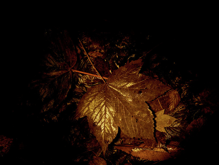 Sycamore, , leaf at end of Autumn and start of Winter. It has been illuminated at night by light painting with a torch. Kennel Vale nature reserve, Cornwall. U.K.