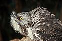 Tawny Frogmouth (Podargus strigoides) southeastern Australia
