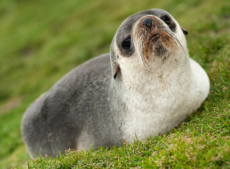 Antarctic fur seal (Arctocephalus gazella), resting in grass, near Grytviken, South Georgia