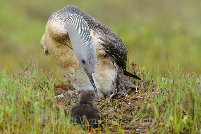 Red-throated Loon (Gavia stellata) and newly hatched chick at the nest. One unhatched egg sits in front of the adult. Yukon Delta National Wildlife Refuge, Alaska. July.