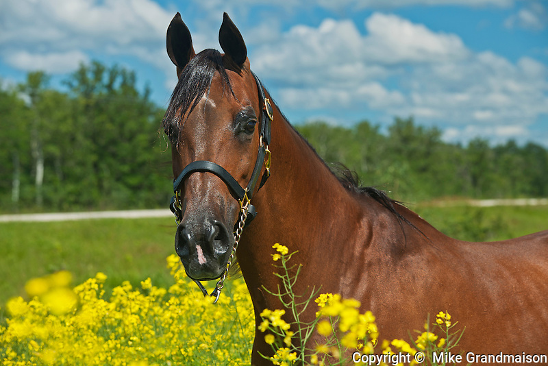 Arabian horse in canola field<br /> Grosse Isle<br /> Manitoba<br /> Canada