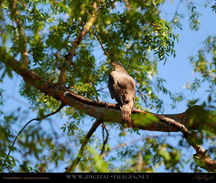 Cooper's Hawk, Chicken Hawk, Southern California