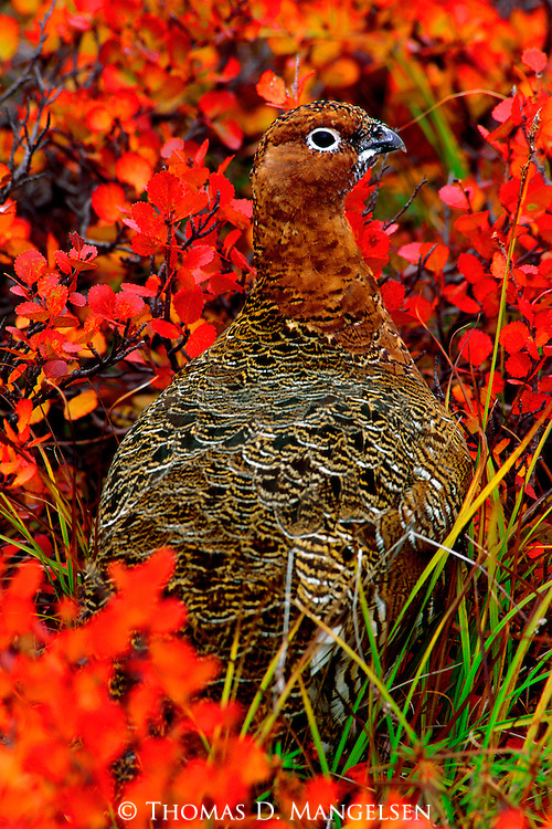 Portrait of a willow ptarmigan in the tundra of Denali National Park, Alaska.