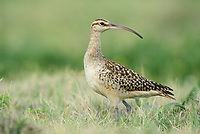 Bristle-thighed Curlew (Numenius tahitiensis). Oahu, Hawaii. January.