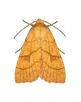 73.179 (2271)<br /> Orange Sallow - Tiliacea citrago