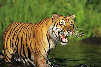 Bengal tiger crossing stream. (Panthera tigris)