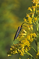 Virginia Ctenuchid Moth (Lepidoptera Ctenuchidae Ctenucha virginica) sips nectar from goldenrod flower (Solidago sp.), September, Rondeau Provincial Park, southwestern Ontario, Canada.  Goildenrod pollen is too sticky and heavy to be dispersed on the wind, so the plant relies for pollination on the numerous insects who feast on its pollen and/or nector.