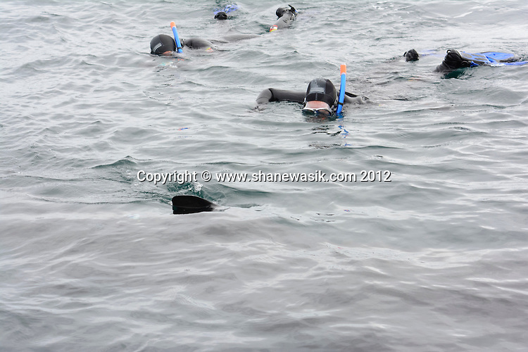 Swimmers watch a basking shark cruise past