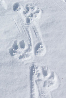 Note the disparity between wolf and coyote tracks.