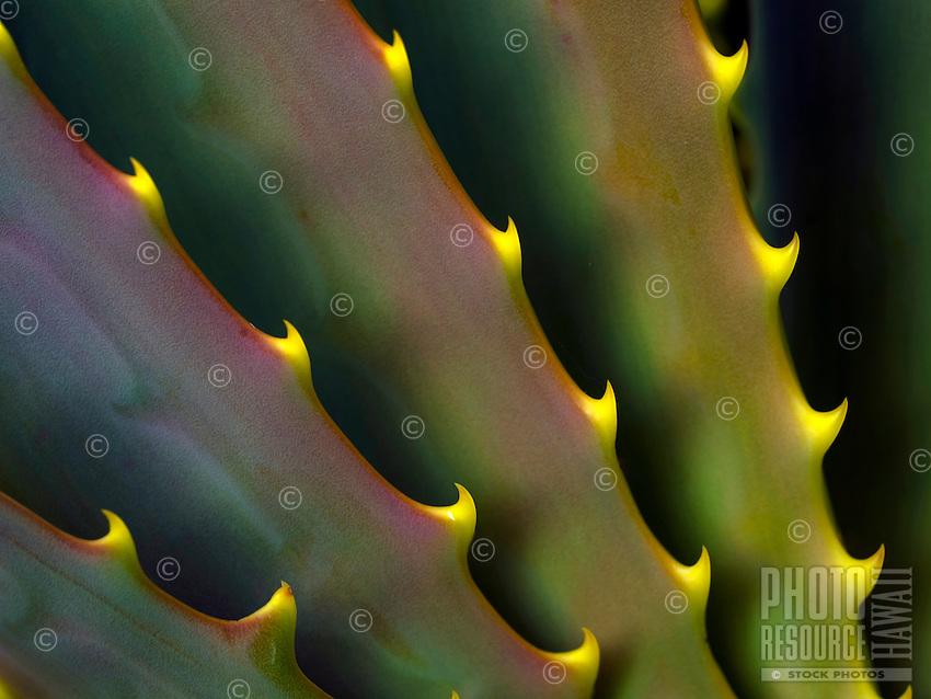 A close-up of an aloe plant in a desert area of Mauna Kea, Big Island of Hawai'i.