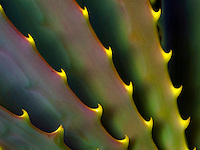 A close-up of an aloe plant in a desert area of Mauna Kea, Big Island of Hawai'i.