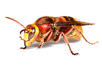 Queen Hornet - Vespa crabro.