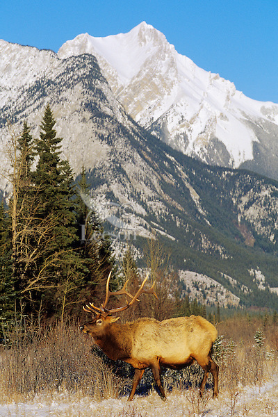 ME867  Rocky Mountain Bull Elk (Cervus elaphus) in Canadian Rockies.  Jasper N.P., Winter.
