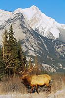 ME867  Rocky Mountain Bull Elk (Cervus elaphus) in Canadian Rockies.  Jasper N.P., Winter.