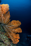 Huge gorgonian sea fans as tall as a person in Raja Ampat, Indonesia