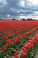 Tulips, Skagit Valley, Washington, agriculture.