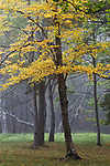 Yellow Birch tree (Betula alleghaniensis) in the Fall, Camden Hills State Park, Camden, Maine, USA